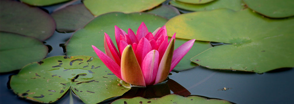 lotus-flower-by-axinia-samoilova